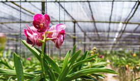 Close-up beautiful Orchid flowers in cultivate farm in tropical country Stock Photos