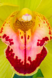 Close up of a beautiful orchid Royalty Free Stock Photo