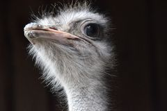 Close up of a beautiful ostrich looking.