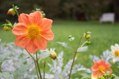 Close up of beautiful peachdahlia flower on natural background. royalty free stock photos