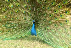 Close up of a beautiful peacock bird with its feathers spead out stock photography