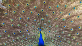 Close-up of beautiful peacock with feathers out Stock Photos