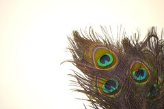 Close up of peacock feathers with white background. royalty free stock photography