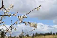Close-up of Beautiful Pear Blossoms, Nature, Macro. Natural Background royalty free stock photo