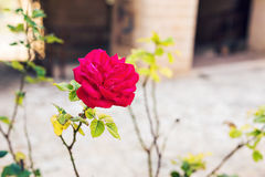 Close up of a beautiful and perfect pink rose in the garden Stock Photography