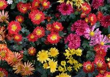 Close up beautiful petal of chrysanthemums flower in plantation Royalty Free Stock Photo