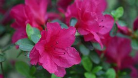 Close-up of beautiful pink Azaleas Rhododendron flowers in springtime. 4K Ultra HD Video stock footage