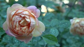 Close up of beautiful pink and beige rose on bush in english garden Green nature background with place for text Royalty Free Stock Photo