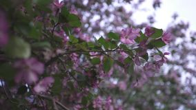 Close-up of beautiful pink blossoms on the branches. Stock footage. Springtime