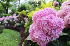 Close Up Beautiful Pink colors of Hydrangea Flowers Blooming on green leaf and multi color background. From Bangkok Thailand Royalty Free Stock Images