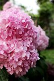 Close Up Beautiful Pink colors of Hydrangea Flowers Blooming on green tree and grass background. For backdrop from Bangkok Thailand Royalty Free Stock Photography