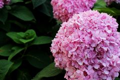 Close Up Beautiful Pink colors of Hydrangea Flowers is a genus of many species of flowering plants. Native to southern and eastern Asia and the Americas on Stock Image