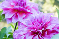 Close up Beautiful pink Dahlia flower blossom and green leaves. fresh floral natural background. Royalty Free Stock Images