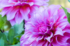 Close up Beautiful pink Dahlia flower blossom and green leaves. fresh floral natural background. Royalty Free Stock Photos