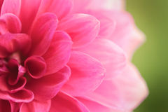 Close up of a beautiful pink Dahlia Flower (Dahlia pinnata) Stock Image