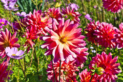Close-up of beautiful pink dahlias in a flower bed Stock Photography