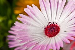 Close-up of a beautiful pink daisy flower Stock Photo