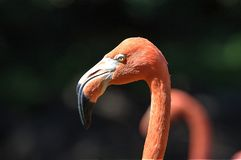 Close up of a beautiful Pink Flamingo in the Oklahoma City Zoo royalty free stock photos