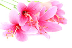 Close up beautiful pink Hibiscus flower. Close up beautiful pink Hibiscus flower isolated on white background Royalty Free Stock Image