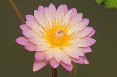 Close-up of Beautiful pink lotus Stock Image