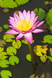 Close-up of beautiful pink lotus Stock Image
