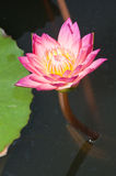 Close-up of beautiful pink lotus Royalty Free Stock Photo