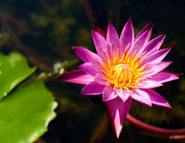 Close up beautiful pink lotus flower growing in pond at tropical Royalty Free Stock Photo
