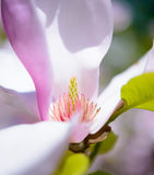 Close up of Beautiful Pink Magnolia Flower. Spring Background Royalty Free Stock Photo