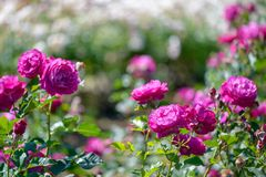 Beautiful pink and purple roses flowers with blurred green background royalty free stock photos