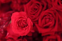 Close up of beautiful pink rose in flower bouquet.  Stock Photography