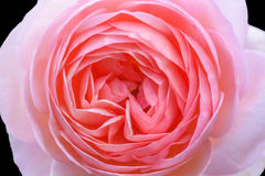 Close-up Beautiful pink rose flower. Isolated on black background Stock Image