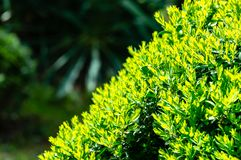 Bright new green foliage of boxwood Buxus sempervirens with dark green garden backdrop. Trimmed boxwood