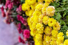 Close up of a beautiful pink and yellow chrysanthemums Stock Photos