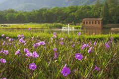 Close up beautiful pinky flowers in outdoor garden with green trees and lake in the background. royalty free stock photo
