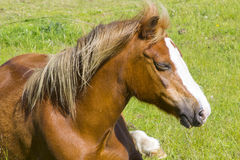 A close up of a beautiful playful young foal with head and mane as it lies down in a field on a bright sunny day Royalty Free Stock Photos