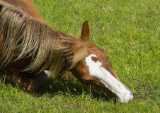 A close up of a beautiful playful young foal with head and mane as it lies down in a field on a bright sunny day Stock Photos