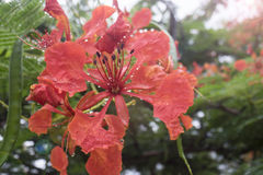 close up Beautiful poinciana ,peacock flower, Gulmohar flower and water drop of rain with blur background,filtered image Royalty Free Stock Images