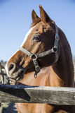 Close-up of a beautiful purebred saddle horse corral fence on na. Purebred saddle horse leans over railing on blue sky background in winter corral Royalty Free Stock Image