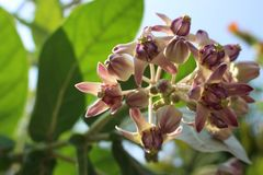 Close up Beautiful Purple Calotropis Flowers on green leaf background is a genus of flowering plants. In the dogbane family for backdrop Royalty Free Stock Image