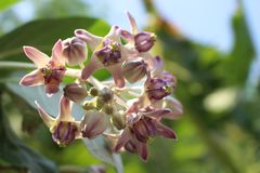 Close up Beautiful Purple Calotropis Flowers on green leaf background in natural park from Bangkok Thailand. For wallpaper or background Royalty Free Stock Photo