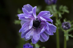 Purple flower Royalty Free Stock Photo