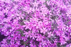 Close-up of beautiful purple flowers, phlox subulata, also known as moss phlox. Mountain phlox stock photography