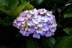 Gorgeous Purple Hydrangea royalty free stock image