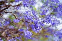 Close up of beautiful purple jacaranda trees flowering along the roads of Big Island of Hawaii Royalty Free Stock Photography