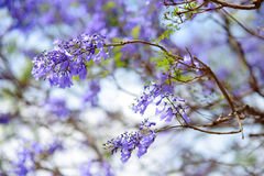 Close up of beautiful purple jacaranda trees flowering along the roads of Big Island of Hawaii Stock Image