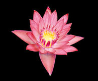 Close up of beautiful purple lotus blossom Royalty Free Stock Photo