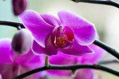 Close up of Beautiful purple orchid Stock Photos