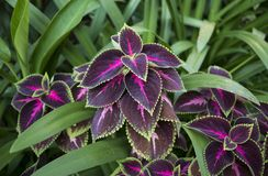 Close up of a beautiful purple and pink leaves. Surrounded by greenery royalty free stock images