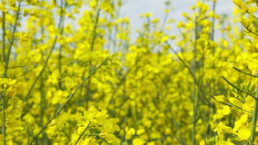 Close up beautiful Rapeseed field blossom. stock footage