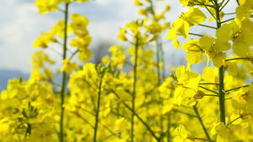 Close up beautiful Rapeseed field blossom. Royalty Free Stock Image